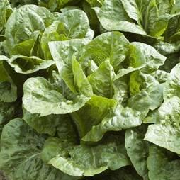 Lettuce 'Frisco' (Cos) (Seeds)