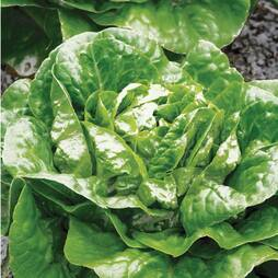 Lettuce 'Winter Density' (Cos) (Seeds)