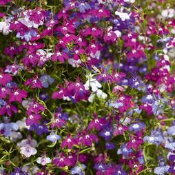 Lobelia 'Cascade Mix' (Seeds)