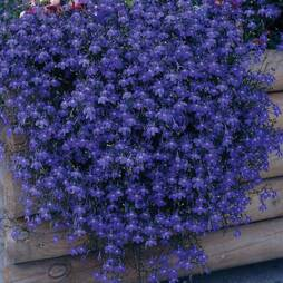 Lobelia 'Monsoon' (Seeds)
