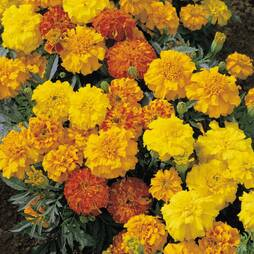 Marigold 'Summer Loving Mix' (Seeds)