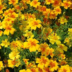 Marigold 'Golden Gem' (Seeds)