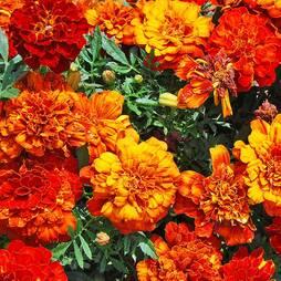 Marigold 'Orange Winner' (Seeds)