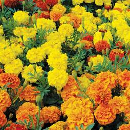 Marigold 'Boy O' Boy Mix' (Seeds)