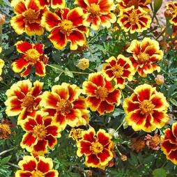 Marigold 'Legion of Honour' (Seeds)