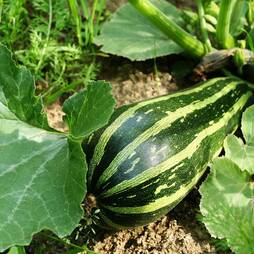 Marrow 'Green Bush' (Seeds)