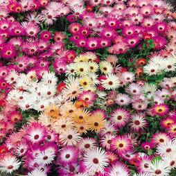 Mesembryanthemum criniflorum 'Magic Carpet Mixed' (Seeds)