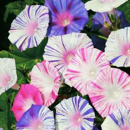 Morning Glory 'Kiss Me Quick' (Seeds)