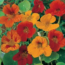 Nasturtium 'Tom Thumb' (Seeds)
