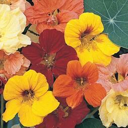 Nasturtium 'Alaska Mixed' (Seeds)