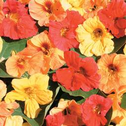 Nasturtium 'Double Mixed' (Seeds)