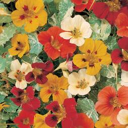 Nasturtium 'Jewel of Africa' (Seeds)