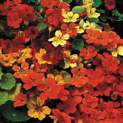 Nasturtium 'Tropical Mix' (Seeds)