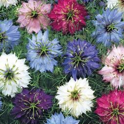 Nigella damascena 'Persian Jewels Mixed' (Seeds)