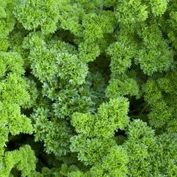 Parsley 'Champion' (Seeds)
