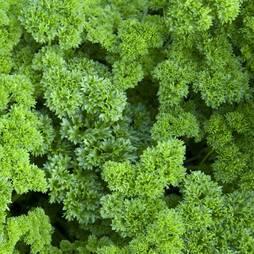 Parsley 'Champion' (Seeds)