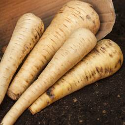 Parsnip 'Tender and True' (Seeds)