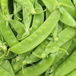 Pea 'Oregon Sugar Pod' (Mangetout) (Seeds)