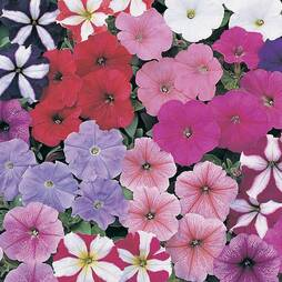 Petunia 'Rainbow Mixed' F2 Hybrid (Seeds)
