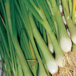 Spring Onion 'White Lisbon' (Seeds)