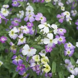 Stock 'Virginia Mix' (Seeds)