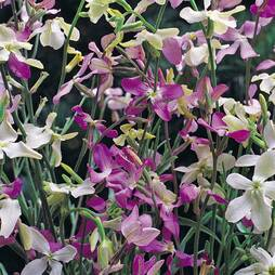 Stock 'Night Scented' (Seeds)