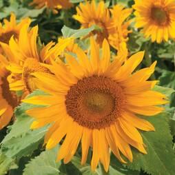 Sunflower 'Irish Eyes' (Seeds)
