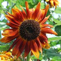 Sunflower 'Velvet Queen' (Seeds)