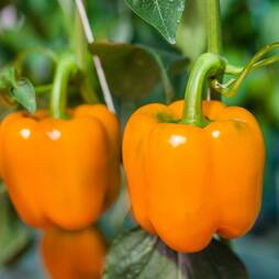 Pepper 'Gourmet' (Seeds)