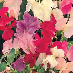Sweet Pea 'Spencer Mix' (Seeds)