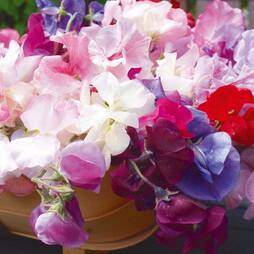 Sweet Pea 'Old Fashioned Ladies' (Seeds)