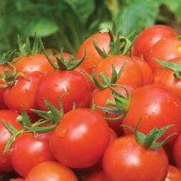 Tomato 'Alicante' (Seeds)