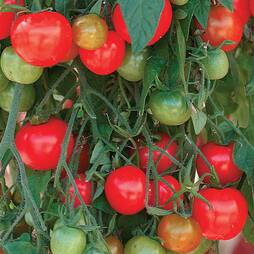 Tomato 'Tumbling Tom Red' (Seeds)