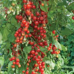 Tomato 'Sweet Million' F1 Hybrid (Seeds)