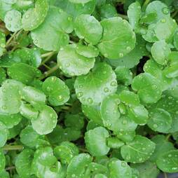 Watercress (Seeds)