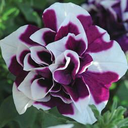 Petunia 'Damson Ripple'
