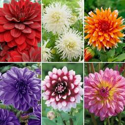 Dahlia 'Spectacular Collection'