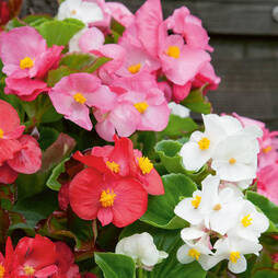 Begonia 'Lotto Mixed' (Garden ready)