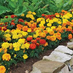Marigold 'Zenith' (Garden Ready)