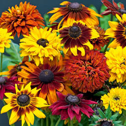 Rudbeckia 'All Sorts Mixed' (Garden ready)