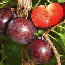 Pluot 'Purple Candy'
