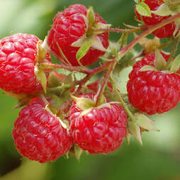 Raspberry 'Glen Moy' (Summer fruiting)
