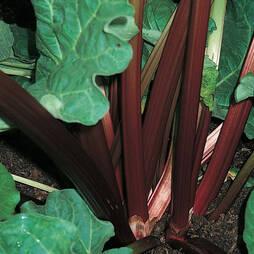 Rhubarb 'Champagne' (Autumn Planting)