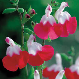 Salvia x jamensis 'Hot Lips' (Large Plant)