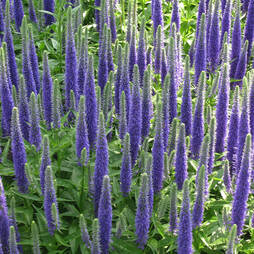 Veronica spicata 'Royal Candles'