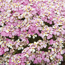 Candytuft 'Pink Ice'
