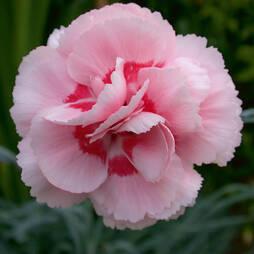 Dianthus 'Doris'