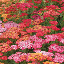 Achillea millefolium 'Red Berries Mixed' (Garden Ready)