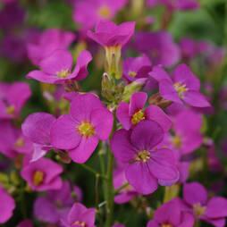 Arabis 'Lotti Pink' (Garden Ready)