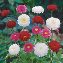 Bellis perennis 'Bellissima Mixed' (Garden Ready)